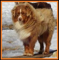 blue eyed red tri miniature australian shepherd-bet-Schafferts Ghost Eye Gus-1 yr
