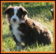 red tri miniature australian shepherd-bet carrier-7 weeks