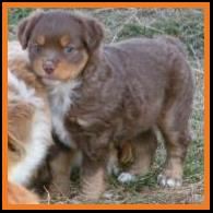 red tri miniature australian shepherd-bet carrier-6 weeks old