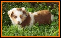 blue eyed red merle miniature australian shepherd- 7 weeks old