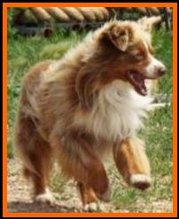 bet aussie-blue eyed red tri miniature australian shepherd for sale- Gus- Ghost Eye Mini Aussies, Sask., Canada