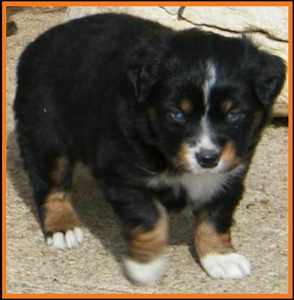 double blue eyed tri mini aussie  pup#1