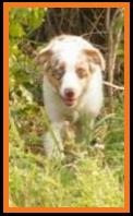 blue eyed red merle miniature australian shepherd-a