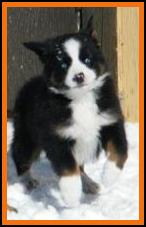 pup 3 @ 7weeks old-double blue eyed black tri male mini aussie pup for sale. Red factored. Bred by Ghost Eye Mini Aussies in Sask., Canada.