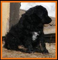 pup 1 @ 6 1/2 weeks old-black tri male miniature australian shepherd in sask, Canada