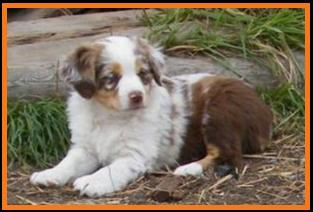 red merle miniature australian shepherd female pup-blue eyes