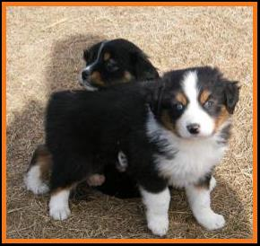 blue eyed black tri mini aussie pup-BET miniature australian shepherd pup