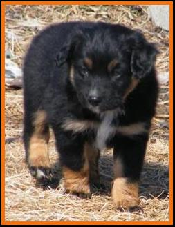 pup 4 @ 6 1/2 weeks old-black tri mini aussie female-miniature australian shepherd female black tri pup for sale in Sask. Canada.