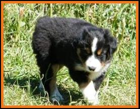 past pup black tri pic6