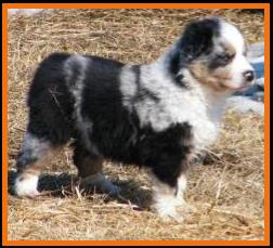 pup 8 @ 6 1/2 weeks old-blue eyed blue harliquin merle female-miniature australian shepherd pup for sale in Sask. Canada.