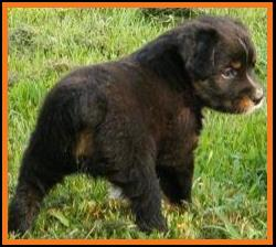 past pup black tri pic 23