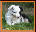 blue eyed harlequin blue merle  mini aussie male pup