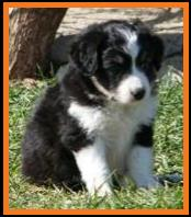 black tri mini aussie female pup
