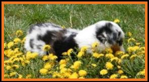 blue eyed blue merle mini aussie female pup