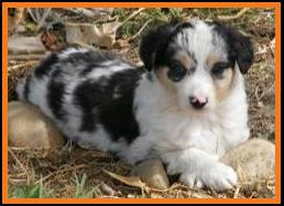 blue merle miniature australian shepherd female pup-blue eyes