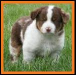 red merle miniature australian shepherd male pup-blue eyes