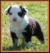 harlequin blue merle miniature australian shepherd-blue eyes