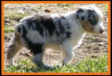 blue eyed blue merle male mini aussie pup