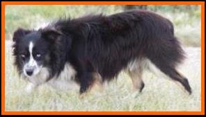 blue eyed black tri mini/toy aussie-BET toy aussie- packetranch.com