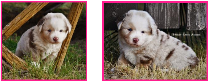 Text Box: Ginny/Wil - 3 Pups Avail