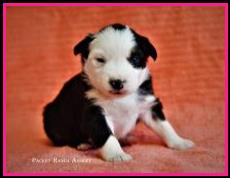 Blue eyed black tri Miniature Australian Shepherd pup for sale- bet mini aussie- Ghost Eye Mini Aussies- packetranch.com- Sask., Canada