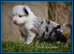 Blue eyed blue merle Toy Australian Shepherd pup for sale- bet mini aussie- Ghost Eye Mini Aussies- packetranch.com- Sask., Canada