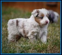 Blue eyed red merle Toy Australian Shepherd pup for sale- bet mini aussie- Ghost Eye Mini Aussies- packetranch.com- Sask., Canada