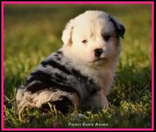 Blue eyed blue merle Toy/Miniature  australian shepherd pup for sale- bet mini aussie- Ghost Eye Mini Aussies- packetranch.com- Sask., Canada