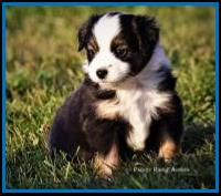 Blue eyed black tri Toy/Miniature  australian shepherd pup for sale- bet mini aussie- Ghost Eye Mini Aussies- packetranch.com- Sask., Canada