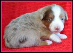 blue eyed blue merle miniature australian shepherd male pup for sale- bet mini aussie- packetranch.com- Ghost Eye Mini Aussies- Sask., Canada