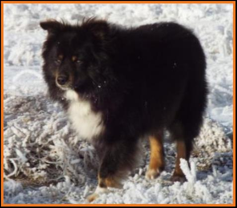 Peace Creek Ghost Eye Jack- blue eyed black tri miniature australian shepherd- bet mini aussie- Ghost Eye Mini Aussies-Sask., Canada