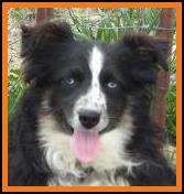 Blue eyed black tri toy australian shepherd- bet mini aussie