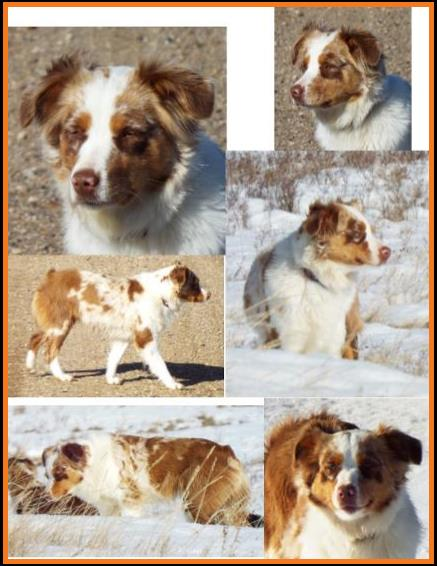 blue eyed red merle miniature australian shepherd - bet lines