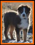 double blue eyed red tri miniature australian shepherd- bet mini aussie- Lazy D Ghost Eye's Fire N Ice- Ghost Eye Mini Aussies- packetranch.com