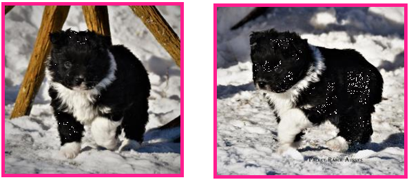 Blue eyed black bi Toy Australian Shepherd pup for sale- bet mini aussie- Ghost Eye Mini Aussies- packetranch.com- Sask., Canada