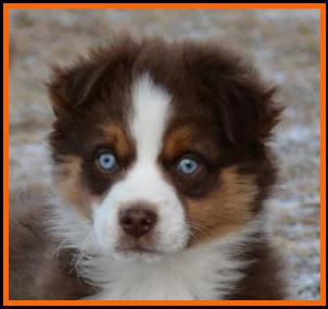 double blue eyed red tri miniature australian shepherd- bet mini aussie- Lazy D Ghost Eye's Fire N Ice- Ghost Eye Mini Aussies- packetranch.com- Sask., Canada