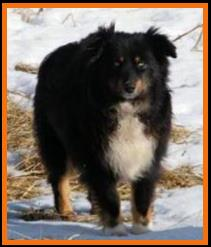 Double blue eyed black tri mini aussie male