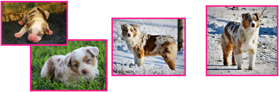 Timberline Ghost Eye Amarillo By Mornin-Dawn- double blue eyed red merle australian shepherd- bet aussie-AKC and ASDR- Ghost Eye Mini Aussies- packetranch.com- Sask., Canada