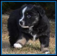 blue eyed red tri miniature australian shepherd female pup for sale- bet aussie lines- Ghost Eye Mini Aussies- packetranch.com- Sask., Canada