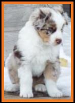 blue eyed red merle miniature australian shepherd-bet aussie-week 8