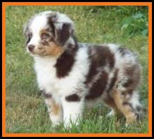 blue eyed red merle miniature australian shepherd pup- 8 weeks old