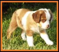 blue eyed red merle miniature australian shepherd pup- 7 weeks old