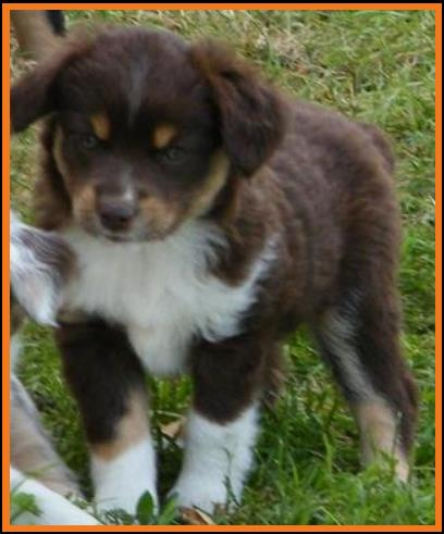 Red tri miniature australian shepherd pup#3