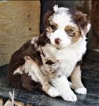 past pup 1blue eyed black tri pic17-blue eyed black tri mini aussie