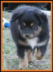 past pup black tri pic 24