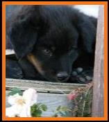 past pup black tri pic10