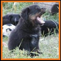 past pup black tri pic 12