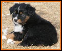 double blue eyed black tri mini aussie pup-BET miniature australian pup