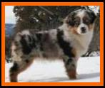blue eyed blue merle toy australian shepherd-Rimfires Pursuit of Perfection