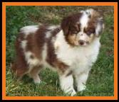 blue eyed red merle miniature australian shepherd- bet aussie-7 weeks old